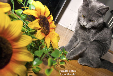 kitten found in Côte-des-Neiges