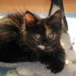 kitten lost in Rosemont