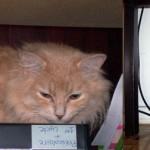 beige cat found in Laval