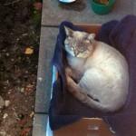 Siamese cat found in Ste-Dorothée