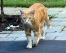 cat found in Ville-Mont-Royal