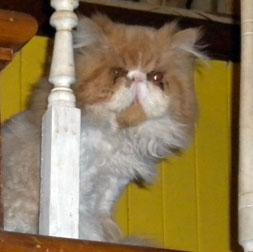 cat lost in Ste-Justine de Newton