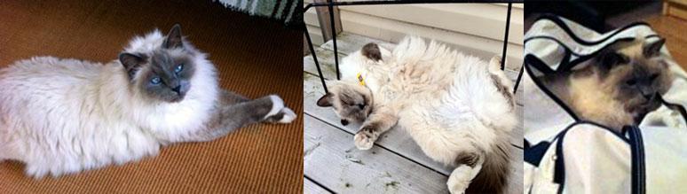 Biirman cat lost in Valleyfield