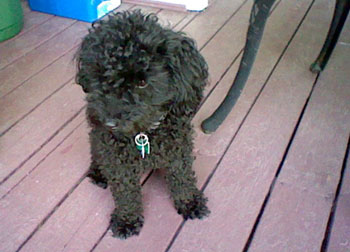 poodle lost in St-Hyacinthe