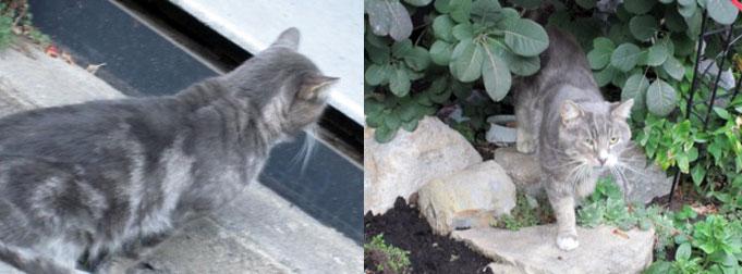 cat found in the Plateau
