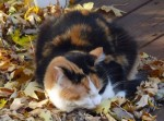 calico cat found in St-Eustache