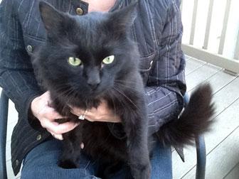black cat found in Villeray