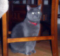 cat lost in Laval-des-Rapides