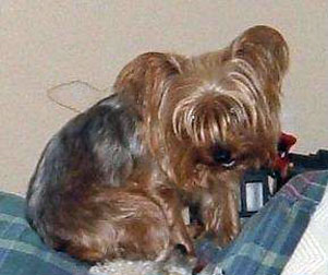 Yorkie lost in Boisbriand
