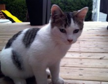 tabby and white kitten found