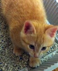 kitten lost in Boisbriand