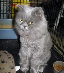 Grey persian cat found