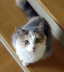 calico found in Châteauguay