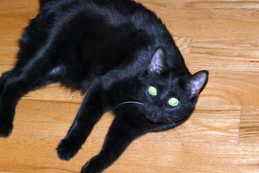 black cat lost in Repentigny