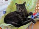 cat lost in Ste-Dorothée