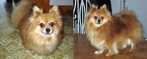 Pomeranian found in Vimont