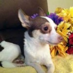 chihuahua lost in Fabreville