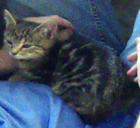 tabby kitten lost in Laval
