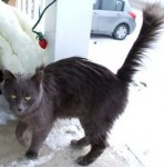 grey cat found in Terrebonne