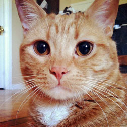 orange cat lost in NDG