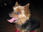yorkshire terrier found in Ste-Sophie