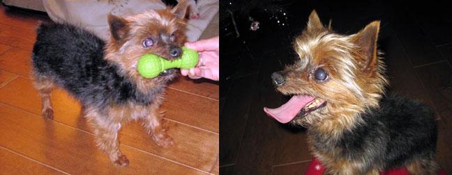 yorkshire terrier found in Ste-Sophie