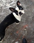 Boston terrier found in Hochelaga