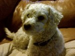 Bichon Frise lost in St-Hippolyte