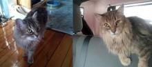 Tabby à poil long trouvé dans le Mile End - a besoin d'un foyer!