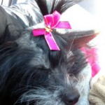 Chinese crested lost in Ste-Thérèse