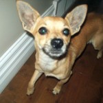 chihuahua lost in Valleyfield