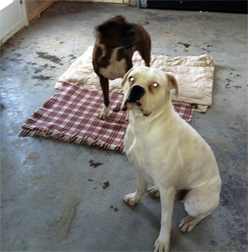 2 dogs found in Chambly