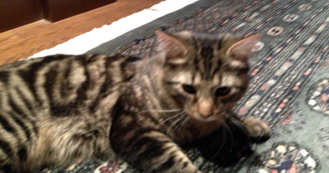 grey tabby found in Anjou