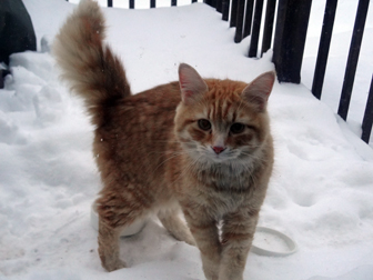 cat found in Bois-des-Filion