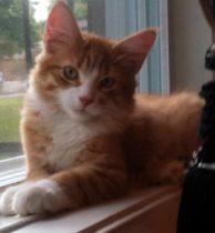 cat lost in Fabreville