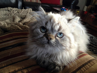 Persian cat lost in Princeville