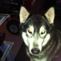 husky found in Terrebonne