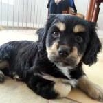 Puppy found in St-Lambert