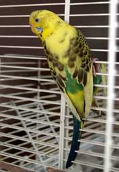 budgie found in Baie d'Urfé