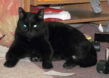 black cat found in Coteau-du-Lac