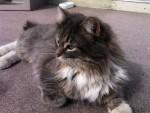 cat found in St-Joseph-du-Lac