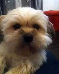 shih tzu lost in St-Hubert