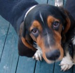 basset hound lost in St-Jacques