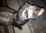ferret found in LaSalle