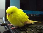budgie found in LaSalle