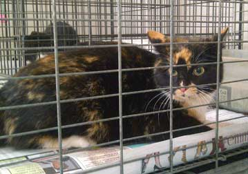 cat found in Prevost at the pound