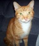 orange cat found in Laval