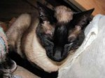 Siamese found in St-Philippe-d'Argenteuil