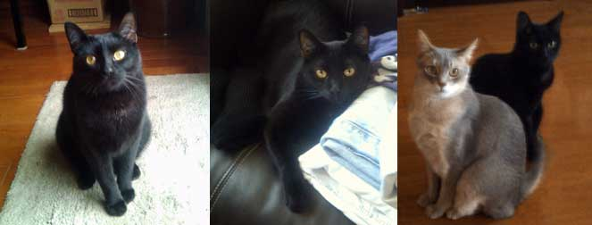 black cat lost in Chambly
