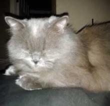 Persian cat lost in D.D.O.